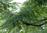 Kentucky Coffeetree, Gymnocladus dioicus
