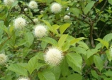 Common Buttonbush (Cephalanthus occidentalis)