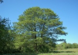 Common alder, black alder (alnus glutinosa)