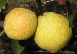 pear 'So sweet' (Pyrus Spp)