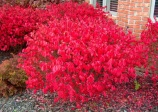 Winged Euonymus, Burning bush