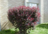 Purple-leaf Sand Cherry, Dwarf Crimson Cherry (Prunus cistena)