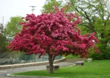 Crabapple 'Royalty' (malus Spp)