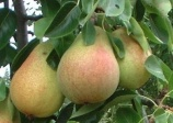 pear tree 'Clapps'  (Pyrus Clapps favourite)