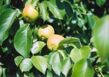 pear tree 'Golden spice' (pyrus golden spice)