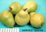 Pear Harvest Queen