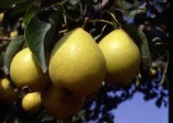 Pear 'Early Gold'