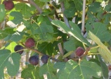 Fig Tree ' Hardy Chicago'