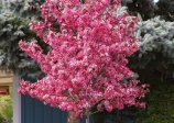 Crabapple 'Royal Raindrops'
