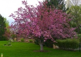 Crabapple  'Profusion'