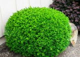 Boxwood Buxus hybrid no 57