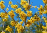 Vernal witchhazel